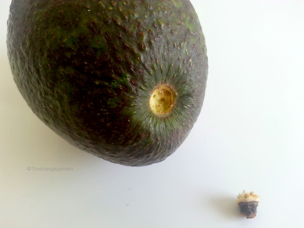 how-to; avocado 3- theorangegarden